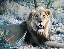 Lion, Kavita Lion Lodge, Namibia